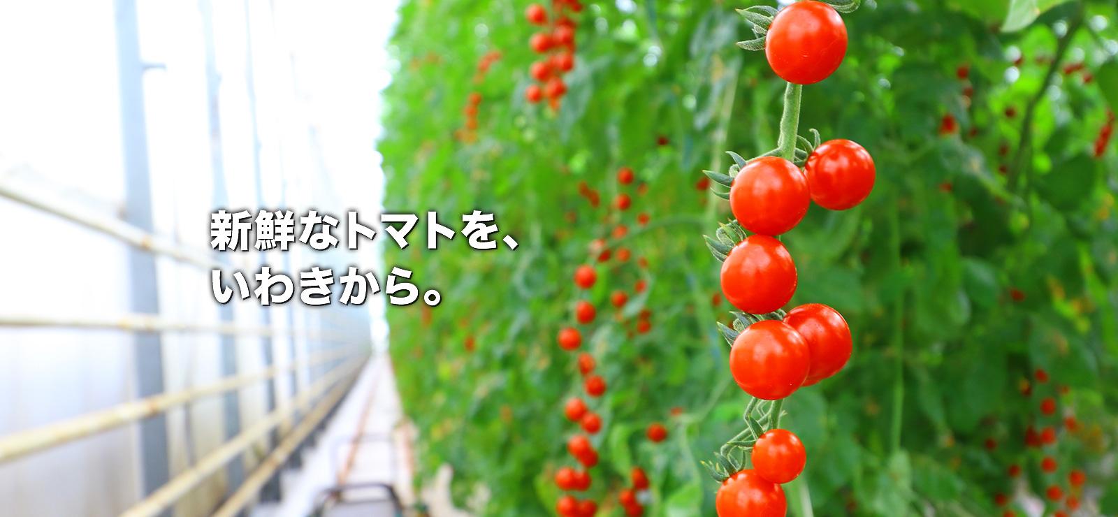 新鮮なトマトを、いわきから。
